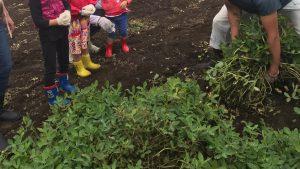 落花生収穫に行ってきました